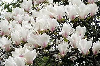 5 Yulan Magnolia Seeds Magnolia denudata Fragrant Ornamental Tree