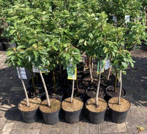 """1 Apfelbaum"""" Gloster"""" im Topf 100cm Terrassenobst obstbaum Apfel Baum Malus domestica Obst + Dünger für die Jahresdüngung"""