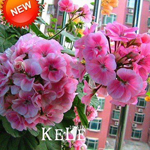 Nouvelles Graines 2015! 20 PCS / Paquet Rose pâle univalve Géranium Graines, Graines vivace Fleur Pelargonium Peltatum Fleurs domestiques, # JP0