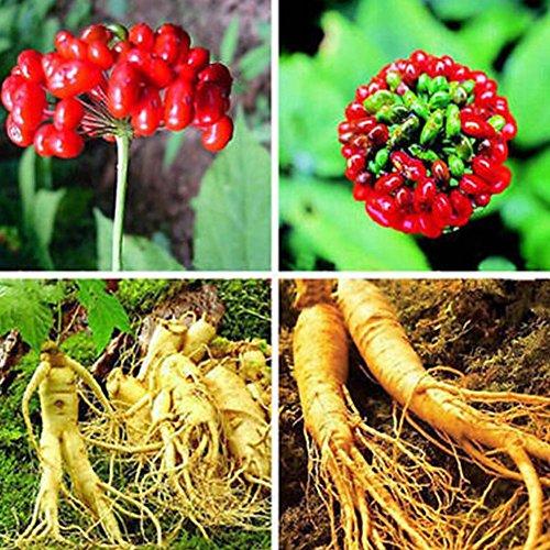 Zhouba Panax Ginseng Samen für Gartenpflanze, 50 Stück, asiatische/koreanische Panax Ginseng Samen für Pflanzennahrung