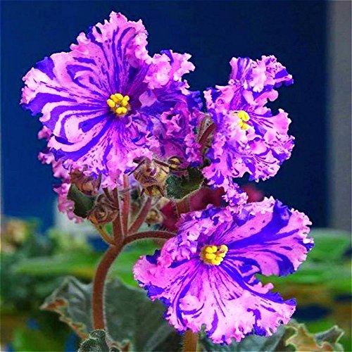 100 Pcs / lot 9 variété de couleurs Graines Violet Flower Garden Plantes rares semences Fleurs vivaces Herb Matthiola Incana Pot Bonsai