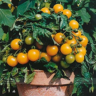 TopOne Sales UK Organic Bright Yellow Round Cherry Tomato Seeds, Professional Pack, 100 Seeds / Pack, Tasty Juicy Sweet Fruit