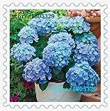 100 Graines hortensia bleu Fleur Bonsai Arbre besoin presque pas de soins