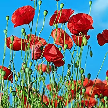 Poppies Live Forever