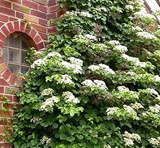 Best planting climbing hydrangea in a pot Reviews
