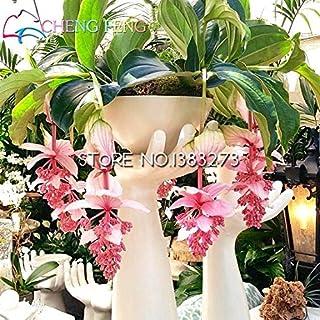 30 Raras Semillas de la lámpara de semillas de plantas frescas Medinilla Florida Planta Jardín Semillas de Paquetes Mini Bonsai Embellecer regalo