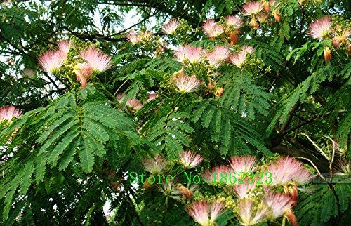 Caliente! 50 PC Semillas Albizia Julibrissin árbol de la flor china Encanto Semillas Bonsai plantas de jardín Precio al por mayor libre Shipp