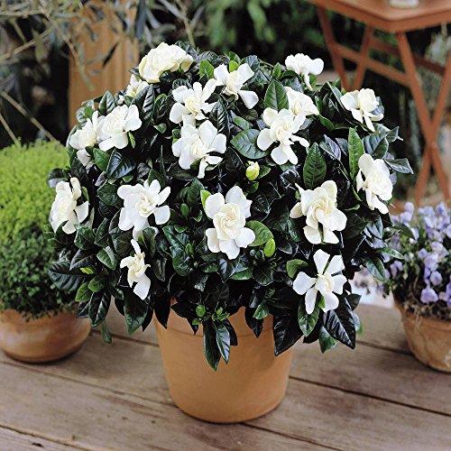 Gardenia jasminoides - 1 plant