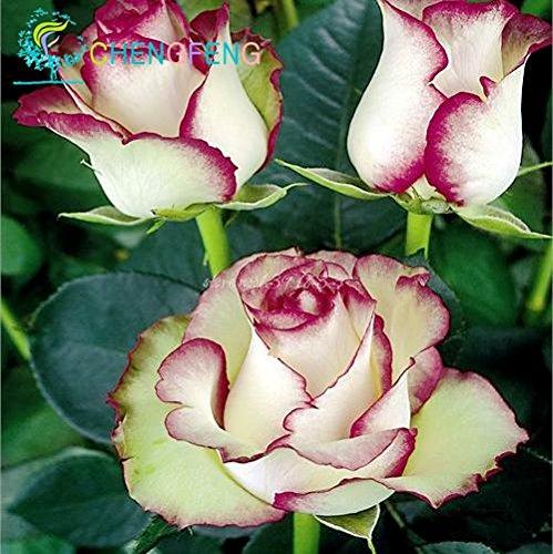 Paquet professionnel 50 graines / Pack, Graines Rose nouvelle Minuit suprême Bush fleur, belle couleur double