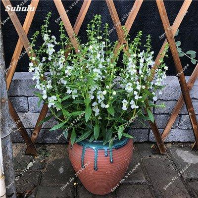 Happy Farm gypsophile ciel Etoiles Graine Hybrids Fleur Graine jardin décoratif Aménagement paysager, Plante vivace Fleur 150 Pcs 10