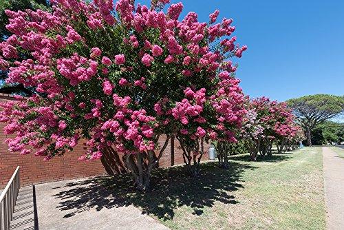 Kreppmyrte 5 Samen (Lagerstroemia indica) Crape Myrtle Pink