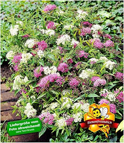 "BALDUR-Garten Spiere""Harlekin Shirobana"",1 Pflanze Spierea, winterhart"
