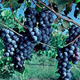 Pixies Gardens Cabernet Sauvignon Grape Vine Shrub Live Fruit Plant for Planting - Small, Round, Black Grape for Wine-Making, it is one of The Most Renowned red Wine