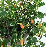 Ohio Grown Goldfish Plant - 6' Hanging Basket -...