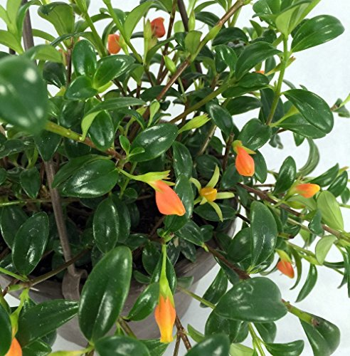 """Ohio Grown Goldfish Plant - 6"""" Hanging Basket - Blooms Frequently!"""