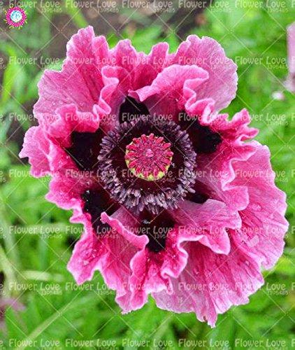 100PCS Rare bleu de l'Himalaya Graines de pavot Graines De belles fleurs vivaces nouveau style papillon attrayant pour jardin plante 1