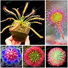 100PCS Sundew Seeds Carnivorous Plants Potted Plant Seeds Flytrap Seeds Radiation Protection Plant For Home Garden