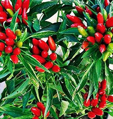 Semillas de pimiento picante en racimos - verduras - pimiento anual - 300 semillas aproximadamente - las mejores semillas de plantas - flores - frutas raras - pimientos picantes - idea de regalo