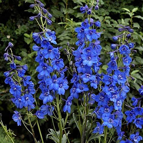 6 x Delphinium 'Blue Bird' - Pacific Rittersporn Blue Bird Kleincontainer 9cm x 9cm