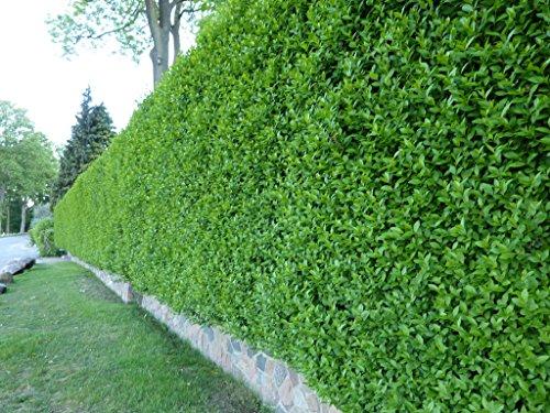 Wintergrüner Liguster Atrovirens - Ligustrum vulgare als Ligusterhecke - schnellwachsend pflegeleicht robust immergrün - Heckenpflanze von Garten Schlüter - wurzelnackt geliefert