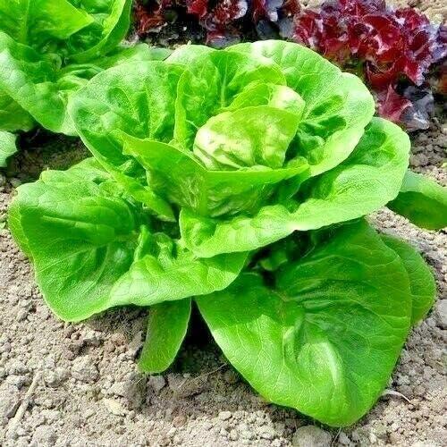Fresh Seeds -600+ Little GEM BUTTERHEAD Lettuce High quality new Animer and price revision Pat Garden