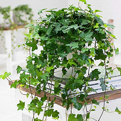 Qulista Samenhaus - Immergrün Raritäten Efeu \'Jessica\' luftreinigende Pflanzen Zimerpflanzen pflegeleicht schnellwachsend Kletterpflanzen Blumensamen exotisch winterhart mehrjährig
