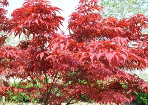 Fresca roja arce japonés 100 semillas Acer palmatum atropurpureum Bonsai Arce