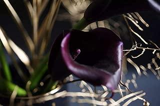black calla lily bulbs for sale