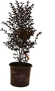 First Editions Midnight Magic Crape Myrtle