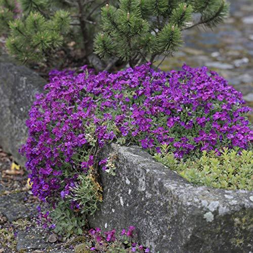 100 pièces/Lot Rock cresson, Aubrieta Cascade Violet Fleur Graines, d'une superbe vivaces Sol Coque pour Home Garden