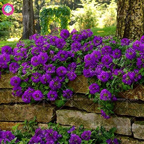 Variété rare! 100 pcs / sac verveine graines plante herbacée hybride vivace en pot Maison et jardin 95% fleurs bonsaï taux de germination 1
