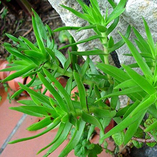 50//Tüte Dickblatt Knöterich Blattwerk Pflanze Innen-Miniatur-Bonsai Haus Pflanze Sukkulente Samen