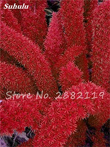 120 Pcs rares Wu bambou sétaire semences de plantes ornementales Bonsai herbes Plantes vivaces Jardin intérieur Graines en pot air frais faciles à cultiver