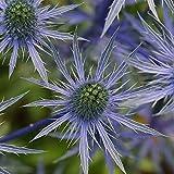 Eryngo azul, acebo de mar plano - 165 semillas