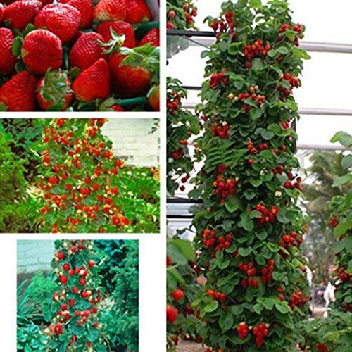 "Acecoree Samen Haus- Klettere Erdbeersamen,100pcs Garten Erdbeer-Kollektion\""Hummi\"" Samen Seltene Bonsai Giant Climb Obst Samen"