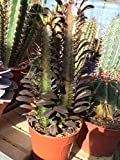 Euphorbia trigona f. rubra Cactus Plant. 35cm Tall. Purple Cacti