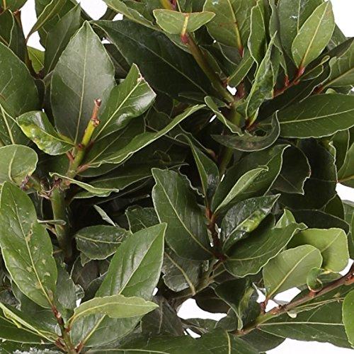 Laurel Comestible - Maceta 17cm. - Altura total aprox. 40cm.