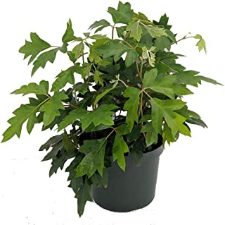 oak leaf grape ivy