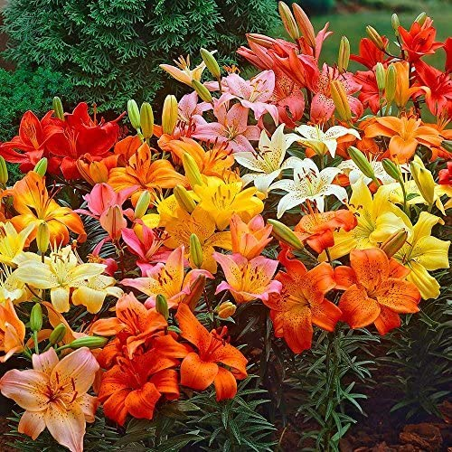 Asiatic Lilies Mix (10 Pack of Bulbs) - Freshly Dug Perennial Lily Flower Bulbs