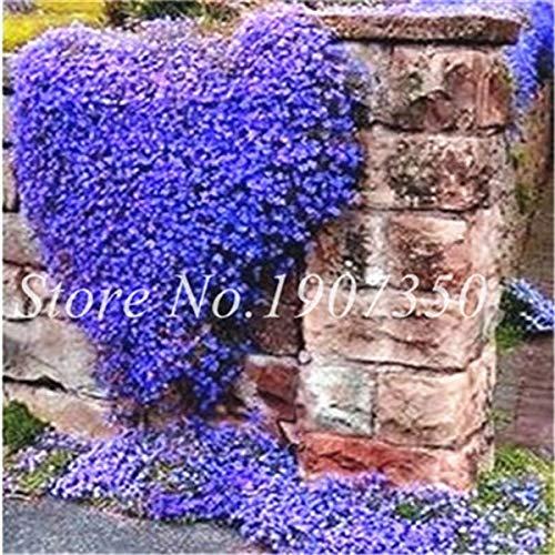 Big Sale 200 Stück Rare-Felsen-Kresse Bonsai Evergreen Kletterpflanze Creeping Thyme Staude Bodendecker Blume für Haus und Garten: 6
