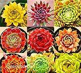 Neue Ankunft! Hausgarten Pflanze 10 Stück Seltene Sempervivum Mix Sukkulenten Samen Blumen für Zimmer, Bonsai Topfpflanzen * Geschenk, # CD4KB -