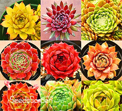 Neue Ankunft! Hausgarten Pflanze 10 Stück Seltene Sempervivum Mix Sukkulenten Samen Blumen für Zimmer, Bonsai Topfpflanzen * Geschenk, # CD4KB