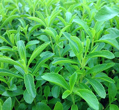 graines vente de stévia rebaudiana chaud de fleurs de feuilles douces plantes en pot pour la maison et le jardin balcon graines d'herbe verte belle bonsaï fleurs