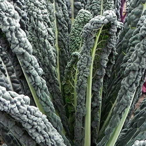 PLAT FIRM GRAINES DE GERMINATION: 100 - Graines: Black Magic Kale Seeds - un goût exceptionnellement doux et riche !!!GÉNIAL!!!!!!!!