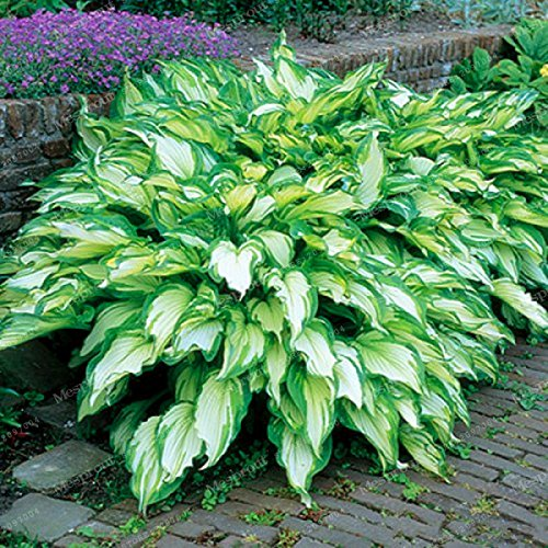 100Sementes Blumensamen Funkien Samen Fire und Ice Schatten Mehrjährige Pflanzen Wegerich Blume Bonsai Home Garten Bodenbedeckung Pflanze 1