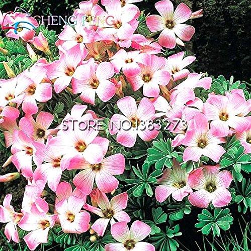 Hot Sale 30 Pcs Oxalis Graines Graines de fleurs vivaces dans Bonsai Plantation Gardens Japanese Plantas Seed *** Plantes Pour Pots Jardin
