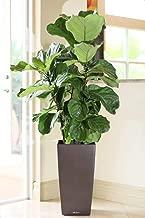 PlantVine Ficus lyrata, Fiddle Leaf Fig - Medium, Bush - 6 Inch Pot (1 Gallon), Live Indoor Plant