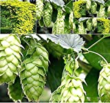 Big Pack - (1,000) Common Hops Seeds - Native to British Isles - Beer Hops Seed - by MySeeds.Co (Big...