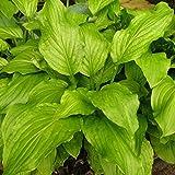 Grüner Garten Shop Hosta, Funkie 3-er Set, 3 Stauden mit grünen Blättern, 10-20 cm, je im 7 cm Topf