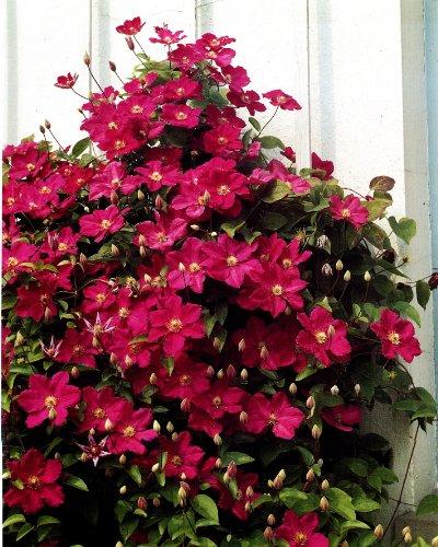 Clematis Ville de Lyon®. 1 Pflanze im 2 Liter Topf - zu dem Artikel bekommen Sie gratis ein Paar Handschuhe für die Gartenarbeit dazu